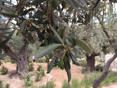 Gethsemane means olive press